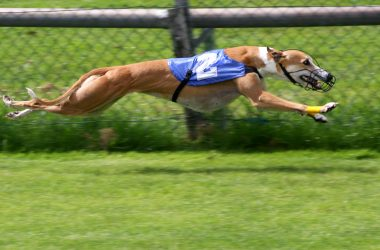 Greyhound ban backflip – From Baird to worse!