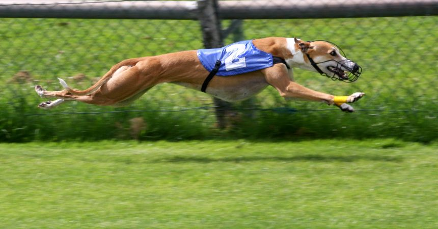 Greyhound ban backflip – From Baird to worse!
